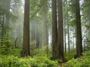 Climate change may affect the fog that waters California's iconic coastal redwoods.